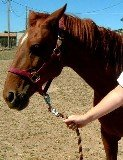 Leading horse by halter